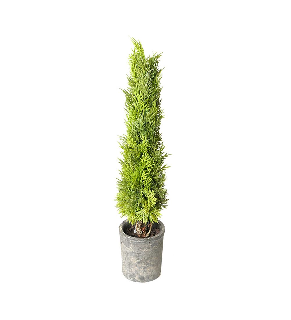 Mr Plant Cypress 55 cm