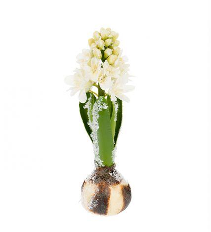 Mr Plant Hyacint 20 cm